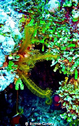 Golden Crinoid seen May 2008 in Grand Bahamas.  Photo tak... by Bonnie Conley