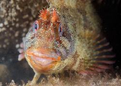 Tompot blenny with fine set of teeth.