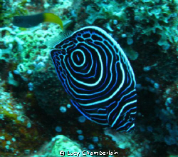 Juvenile Emperor Angel Fish.  One of the most impressive ... by Lucy Chamberlain