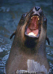 what big teeth you have! Cape fur seal by Geoff Spiby