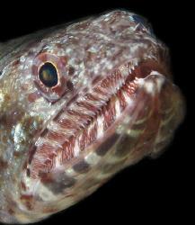 Lizardfish by Martin Dalsaso