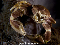 Porcelain Crab with its legs wrapped around the side of t... by Richard Witmer