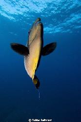 Bignose unicornfish coming close. I love the out-of-focus... by Tobias Reitmayr