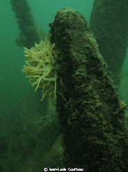 """Flowered Tomb""       A freshwater sponge grows on an anc... by Jean-Louis Courteau"