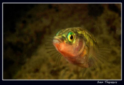 Three-spined stickleback, male dressed in his courtship c... by Sven Tramaux