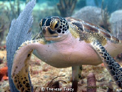 Juvenile Green turtle off Lauderdale by the Sea, Florida. by Theresa Tracy