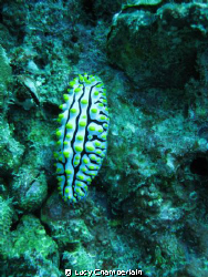 Phyllidia Varicosa.  Taken just off Phuket, August 2008 by Lucy Chamberlain