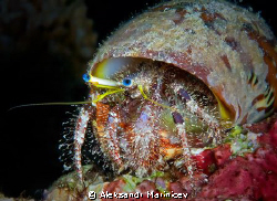 Hermit crab, night dive, Moalboal, Cebu by Aleksandr Marinicev