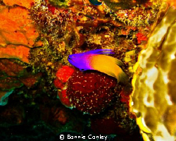 Fairy Basslet seen in Grand Bahamas My 2009.  Photo taken... by Bonnie Conley