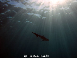 A juvenile dusky whaler shark. Syndey, Australia. Taken w... by Kristen Hardy