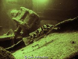 A corkwring wrasse on the James Egan Layne.  A Liberty sh... by Ian Johnston