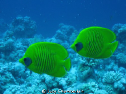 A pair of masked butterfly fish.  April 2009 by Lucy Chamberlain