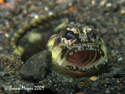 I was surprised to find this tiny jawfish out in the open... by Brian Mayes