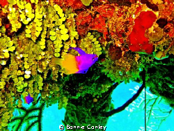 Fairy Basslet seen May 2009 in Grand Bahamas. Photo taken... by Bonnie Conley