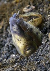 Black- pitted snake eel. Lembeh. D200, 60mm. by Derek Haslam