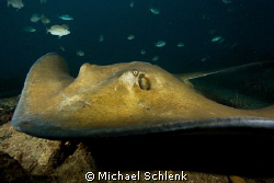 """Another stingray close encounter photo on the """"Sea Empero... by Michael Schlenk"""