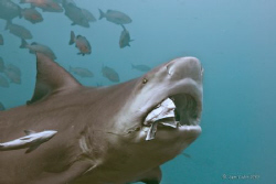 Feeding Bull Whaler shark, Beqa Channel, May 2009 with Ni... by Sam Cahir