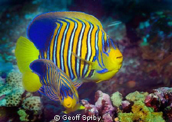1 big one, 1 small one. A pair of my favourite angelfish ... by Geoff Spiby