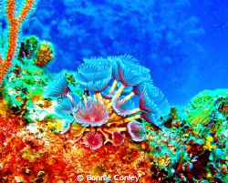 Featherdusters seen in Grand Bahamas May 2009.  Photo tak... by Bonnie Conley