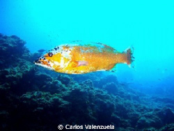 This is an Island Grouper (Abade) from the Marine Resrve ... by Carlos Valenzuela