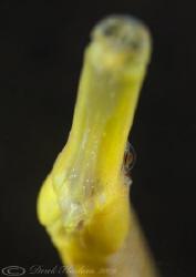 Snake pipefish. Trefor pier. D3, 60mm. by Derek Haslam