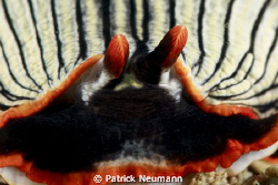 Nudi close up taken in PNG in April 2009 with Canon 400D/... by Patrick Neumann