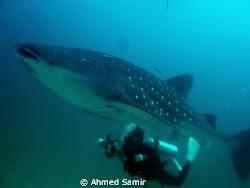 Whale Shark from Maamin'gili Faru, South Ari Atoll - Mald... by Ahmed Samir