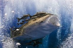 Whaleshark enjoying jacuzzi in the Guld of Thailand.... by Soren Egeberg