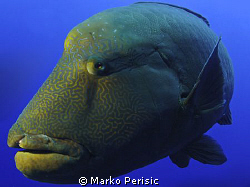 The Resident Napoleon Wrasses of Little Brother Reef. by Marko Perisic