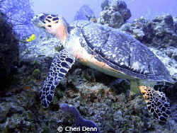 Turtle at a cleaning station. by Cheri Denn