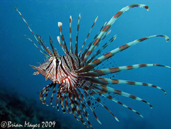 Common Lionfish (Pterois volitans) swimming at Takawide 1... by Brian Mayes