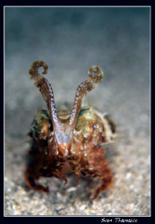 Cuttlefish ready to run.. by Sven Tramaux