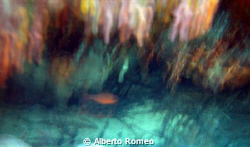 Moved shot of mediterranean cardinal fish ( Apogon imberb... by Alberto Romeo