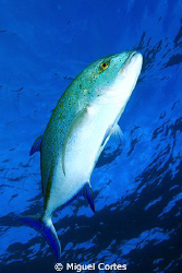 Trevally. by Miguel Cortes