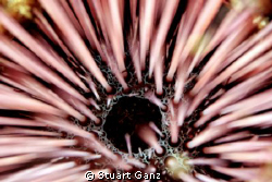 Needle Urchin - F4 1/60 ISO200 60MM macro lens. by Stuart Ganz