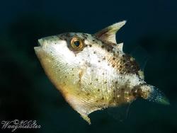 Little Filefish (Monacanthidae sp.) - Tulamben, Bali (Can... by Marco Waagmeester