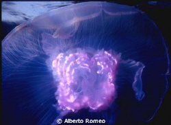 A little jellyfish (Aurelia aurita), note the pink mature... by Alberto Romeo