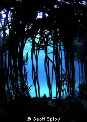 looking through the kelp by Geoff Spiby