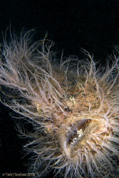 """Hairy Monster"" The wonderful Hairy Frogfish on Hairball ... by Debi Henshaw"
