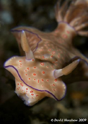 Portrait study of Nudibranch (Cerotosoma trilobatum). Tak... by David Henshaw