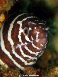 Zebra Moray getting acquainted with my Macro Lens. 