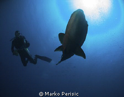 Napoleon Wrasse and diver caught in the frame. by Marko Perisic
