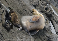 Mother and pup. Galapagos. D200, 18-200mm. by Derek Haslam