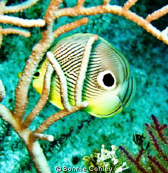 Four-eye Butterflyfish seen at Grand Bahamas May 2009.  T... by Bonnie Conley