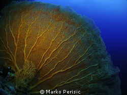 A magnificent example of a Giant Sea Fan (Annella mollis)... by Marko Perisic
