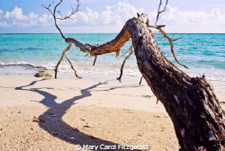 I call this my 'Turks Tree'. Shot off of Provodenciales o... by Mary Carol Fitzgerald