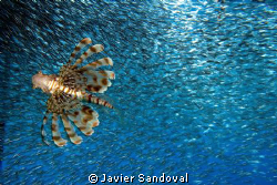lionfish hunting silversides from below by Javier Sandoval