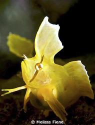 A Golden Weedfish (Cristiceps aurantiacus).  Taken at S... by Melissa Fiene
