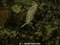 Opalescent (Aeolid) Nudibranch? The photo was taken at Se... by J. Daniel Horovatin