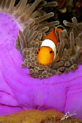 Western Clown Fish guarding its eggs at the bottom of the... by Adriano Trapani